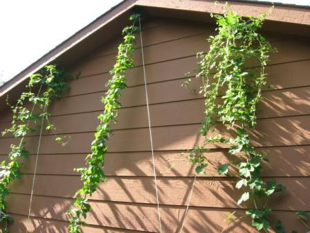 hopgarden Growing Hops