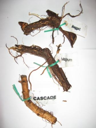 hop rhizomes Growing Hops from Rhizomes