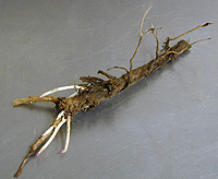 hoprhizome Hop Rhizomes on Order