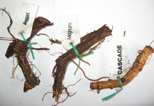 buy hop rhizomes Where to Buy Hop Rhizomes
