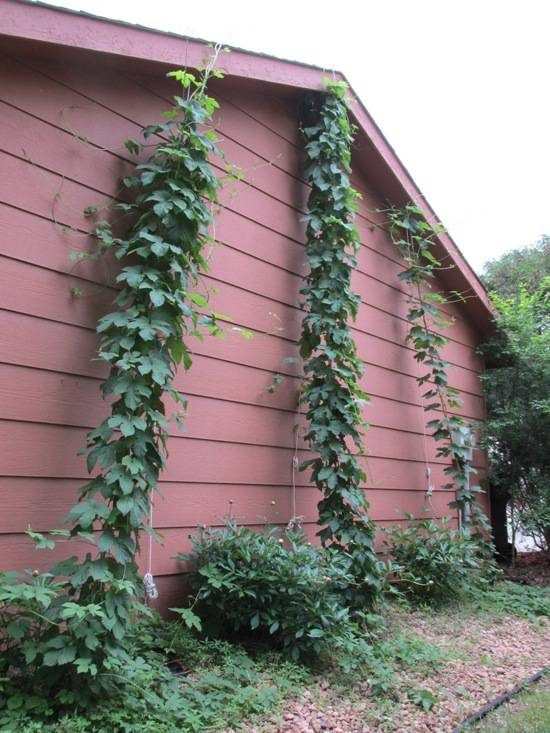 June 9 Hops Hop Bines June Update