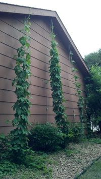 May 31 Bines Hop Bines June Update