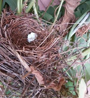 Found a bird nest when I lowered the Magnum hop bine for harvest.