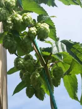279f5ea0f2aa149 Beer Hops
